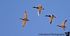 November 11, 2006 - 'Mallards take off' <br /> <br /> at least some light over the weekend for some flight shutterspeed..