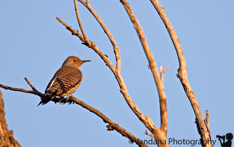 October 12, 2006 - Northern flicker<br /> <br /> yeah, another one..is fall their season, I see quite a few around..