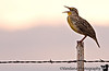 October 24, 2006 - Meadowlark singing