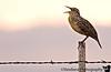 October 24, 2006 - Meadowlark singing
