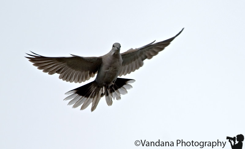 Ocotber 15, 2006 - Dove in flight <br /> <br /> got some in a series, but so far only processed this..was quite pleased with the wing detail..