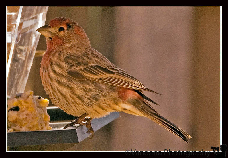 Jan 24, 2006 - nice details I think.the Male house finch.by K