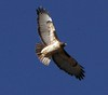 Jan 15, 2006 - a hawk in flight !My first, though I know pretty bad !