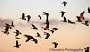 Jan 9, 2006: Geese in flight !