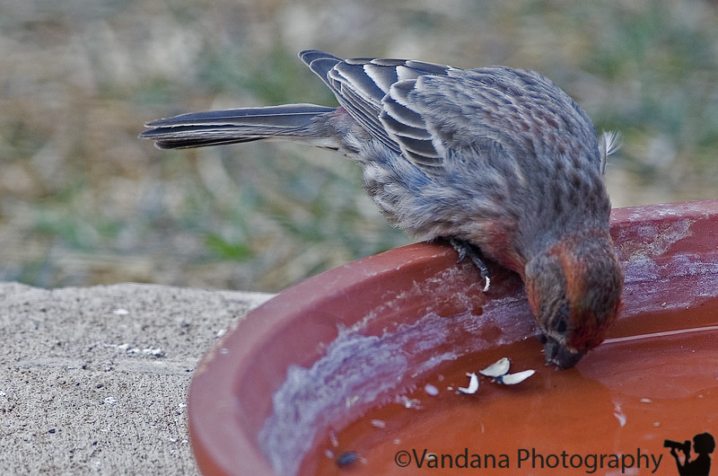 Jan 29, 2006 - thirsty house finch.