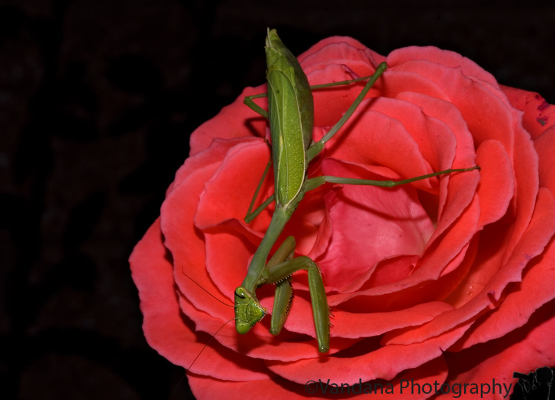 "September 23, 2006 - Praying mantis  on a rose !! In Albuquerque Botanical Gardens. and he is looking at me here!of course, I was very close to him :) More <a href=""http://vandana.smugmug.com/gallery/1717994"">here</a>"