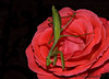 """September 23, 2006 - Praying mantis  on a rose !! In Albuquerque Botanical Gardens. and he is looking at me here!of course, I was very close to him :) More <a href=""""http://vandana.smugmug.com/gallery/1717994"""">here</a>"""