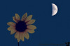 September 29, 2006 - the sun and the moon<br /> <br /> yeah, I know, most of you must be bored of the sunflower theme by now :)..but I'll rest in peace now after seeing the flower with all my favorite celestial bodies !!
