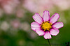 September 25, 2006 - just a lone flower in the midst of many!