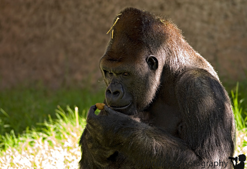 September 24, 2006 - Evolution<br /> <br /> a gorilla in Alb zoological park; it is like a open enclosure with no cages, it's very nice to observe their behaviors etc..they're strangely similar to some people I know :)