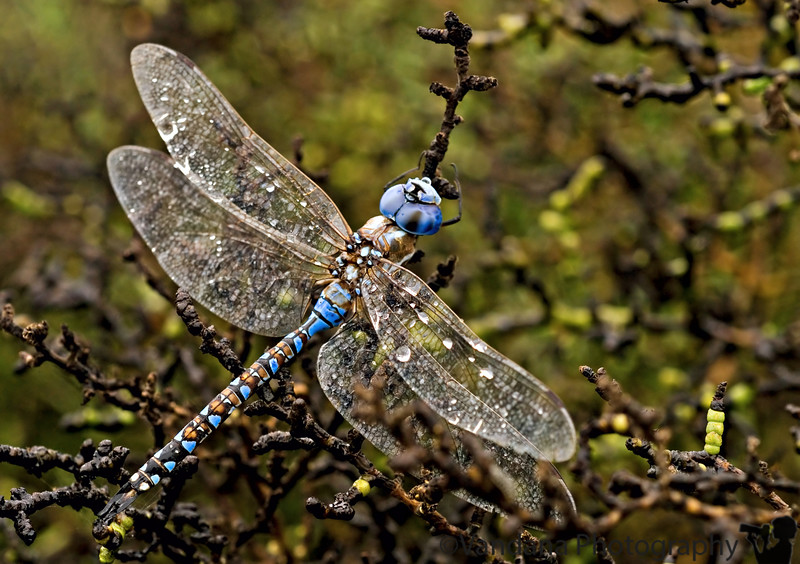 "September 4, 2006 - 'the last of the dragonflies' - a very colorful fellow in the rain.  More <a href=""http://vandana.smugmug.com/gallery/1527536"">here</a> Also managed to see some <a href=""http://vandana.smugmug.com/gallery/1004039"">pelicans/heron</a> very far away"