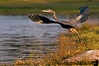 September 12, 2006 - Great blue Heron take-off<br /> If the egret took off 2 days back, this had to follow ! And I got the EYE !!<br /> upload time was a record few seconds! you got to love smugmug, they know what is wrong and fix it in a day :)