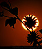 "September 28, 2006 - Sunflower eclipse  So I managed somewhat the mind's eye shot :), it's very little time to practice from when you can look at the sun doing down and suddenly no light !I thought if I stand far enuf from the flower so it's near infinity and sun at infinity, I maynot need that much DOF..so still at f32..More versions <a href=""http://vandana.smugmug.com/gallery/1550049"">here</a>"
