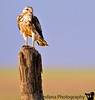 "September 20, 2006 - Hawk portrait  got some nice evening light on the hawk's eye. couldn't manage any decent flight shots tho :( More <a href=""http://vandana.smugmug.com/gallery/1202617"">here</a> there's some hawk meeting ( concert?!) going on these days, I think..there're quite a few hanging out together, most of the ground - hatchign eggs ?!it's very strange.."