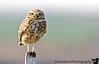 April 3, 2007 - and what do You want ?!<br /> <br /> burrowing owl on one of its favorite poses !