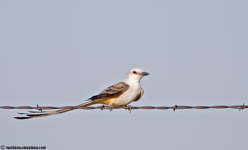 "April 20, 2007 - scissor-tail flycatcher ( thanks all !)  <a href=""http://vandana.smugmug.com/gallery/1004039/1/145539045/Large"">in flight</a>"