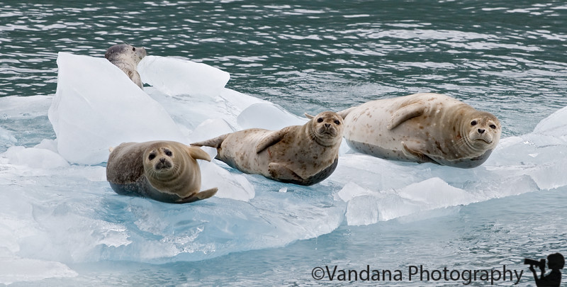August 3, 2007 - Harbor Seals on icebergs in Prince William Sound Cruise taken from Whittier.