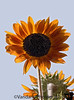 August 18, 2007 - sunflowers!
