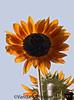 August 18, 2007 - sunflowers!
