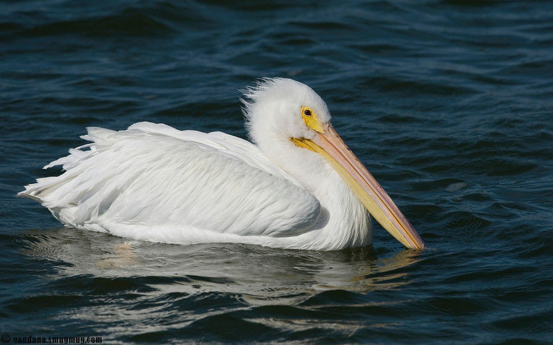 December 24, 2007 - White christmas :)<br /> <br /> warm and sunny in Rockport, Texas, with a american white pelican cruising by..