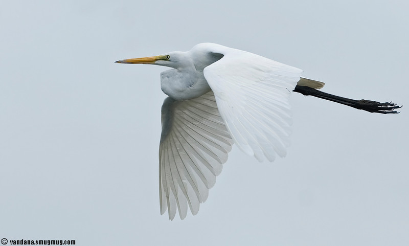 December 21, 2007 - egret in flight