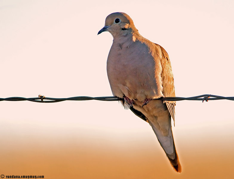 February 21, 2007 - lone dove on wire