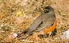 February 3, 2007 - American robin