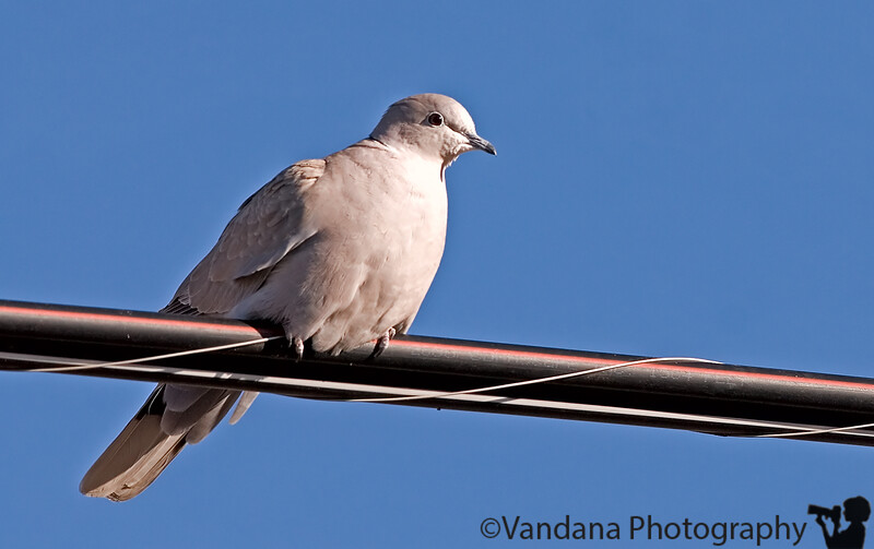 Jan 6, 2007 - Dove on wire <br /> <br /> I waited and waited for him fly and then he flew :)) and I didn't get it !
