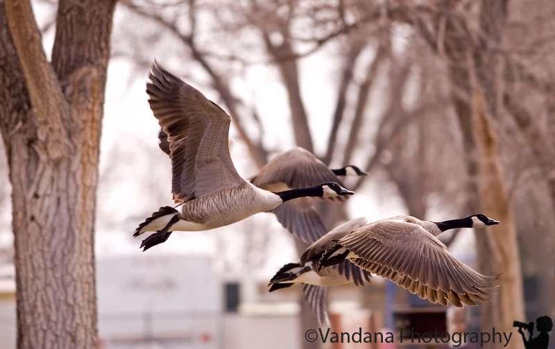 Jan 31, 2007 - Flight<br /> <br /> oh, these canada geese, they came close :)