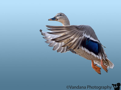 Jan 28, 2007 - Mallard in flight  the closest I have gotten, quite excited..I have a few more to process from yesterday but smug was down I thought..