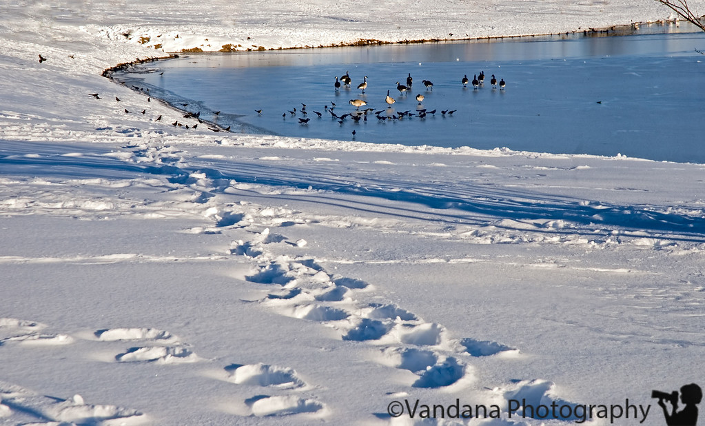 Jan 23, 2007 - frozen  canada geese stood in the frozen lake, while I stood in a huge pile of snow to take the pic..had to get out of that light tent :)