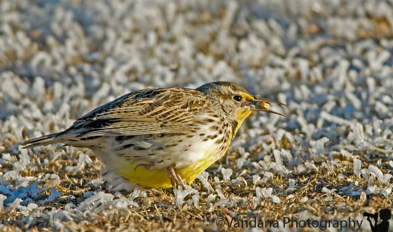 Jan 15, 2007 - the meadowlark finds a nut in the cold  More meadowlarks