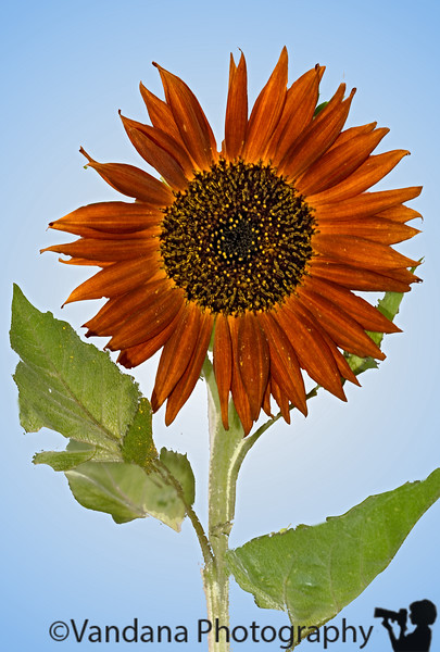 July 15, 2007 - the first sunflower in my backyard !