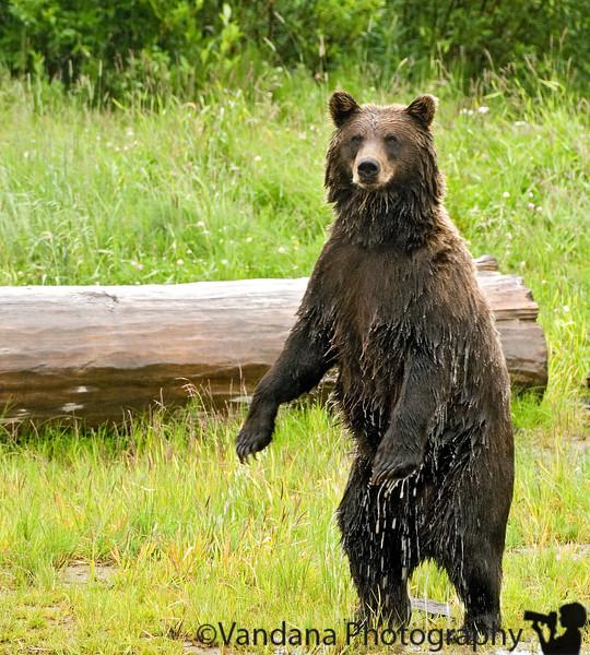 "July 22, 2007 - The Grizzly checks us out.  At Alaska wildlife conservation center, near Portage Glacier.  More photos <a href=""http://vandana.smugmug.com/gallery/3201632"">here</a>"