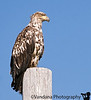 July 26, 2007 - Juvenile bald eagle in Chignik, AK<br /> <br /> First stop on the MV Tustumena enroute to Dutch Harbor  (Unalaska), AK