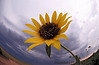 July 9, 2007 - The fish-eye finally makes it home !!!<br /> Sunflower in the storm. <br /> <br /> I might make this a sunflower week - trying to explore all the angles, perspectives, bugs of the flower :)