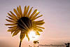 July 2, 2007 - Sun-flower-star