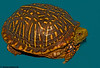 """June 7, 2007 - a little wild turtle came home today - <a href=""""http://vandana.smugmug.com/photos/160606945-L-0.jpg"""">found in the backyard</a> ! K tried to keep him, out <a href=""""http://vandana.smugmug.com/photos/160607446-L.jpg"""">in a stockpot near his PC</a> :), but I let him go for fear of salmonellosis..cute"""