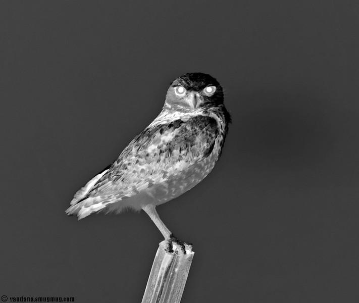 June 10, 2007 - Menacing Night owl !