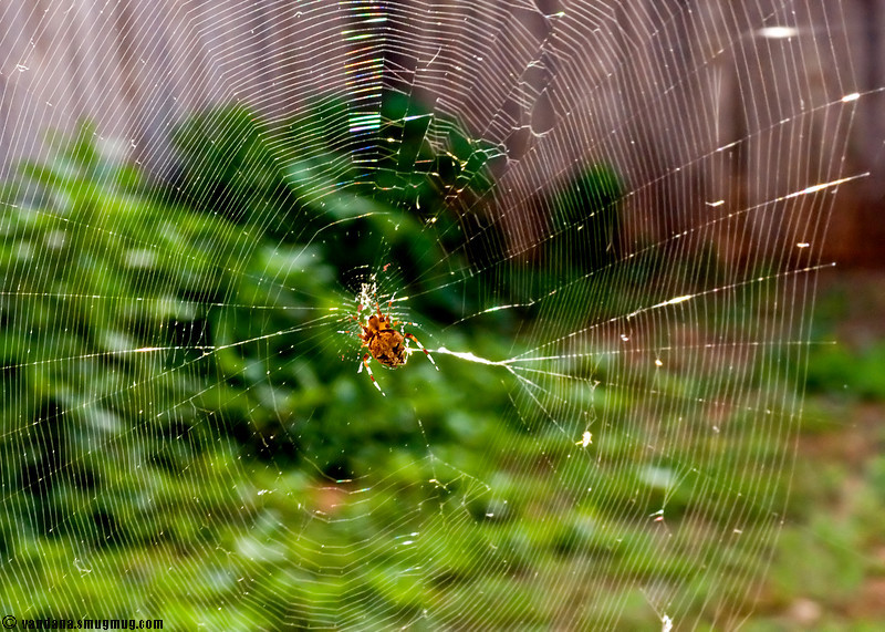 June 18, 2007 - ah, the web he has spun..<br /> <br /> extremely intricate..I tried all of yesterday for this shot but couldn't get the right light on it..you can barely see it ..I have had to protect it for photographic purposes !