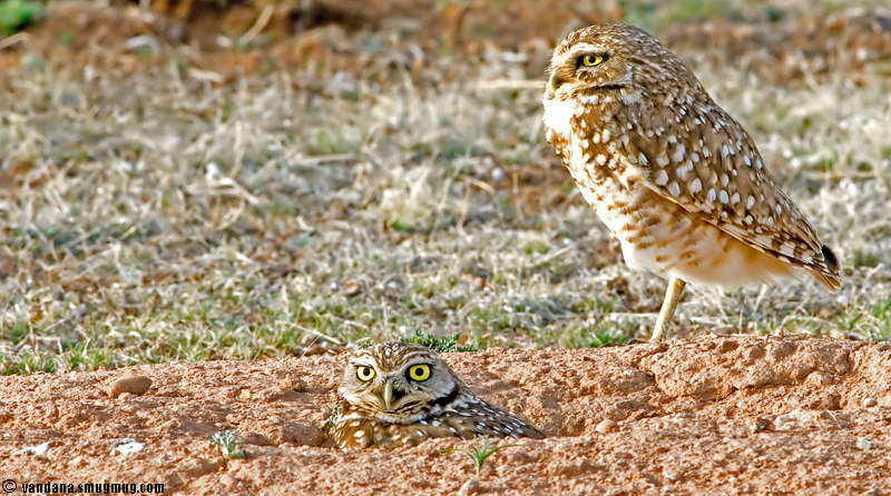 """March 18,2007 - The owls are back !!! and 2 of them together :)  saw the first burrowing owls of the season today!quite exciting..More including some flight shots <a href=""""http://www.vandanaphotography.com/gallery/1276627"""">here</a>"""