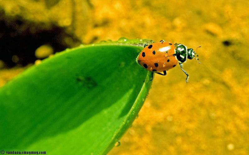 "March 10, 2007 - 1st ladybug of the season !!  more signs of <a href=""http://vandana.smugmug.com/gallery/1527536/1/135037850/Medium"">spring</a>"