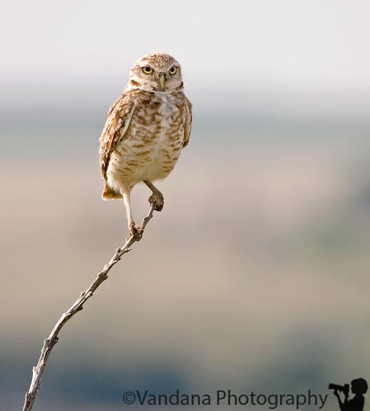 """May 9, 2007 - Owl portrait.   <a href=""""http://vandana.smugmug.com/gallery/1276627/1/151259745/Medium"""">stare back at the owl</a>"""