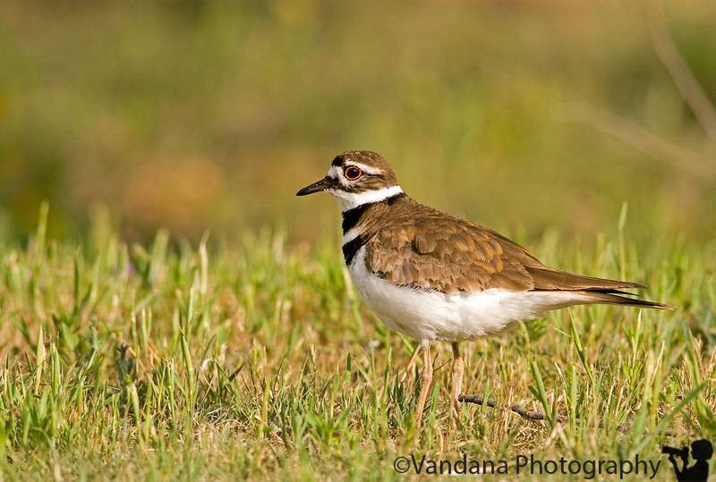 May 17, 2007 - Killdeer stare
