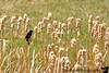 May 8, 2007 - Red-winged blackbird