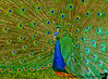 """May 13, 2007 - Peacock show-off !  More Peacock fun <a href=""""http://vandana.smugmug.com/gallery/2843700"""">here<a/>  They put on quite a show today..  Happy Mother's day to all!"""