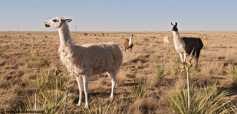 November 1, 2007 - Alpacas in New mexico