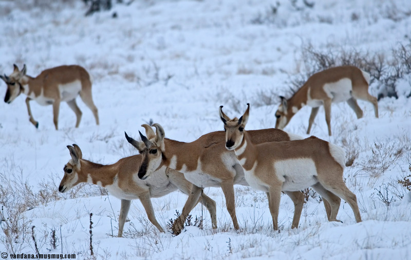 November 26, 2007 - Antelopes in the snow