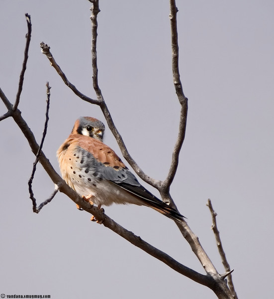 November 30, 2007 - Kestrel..<br /> ah, such a rare portrait to shoot !