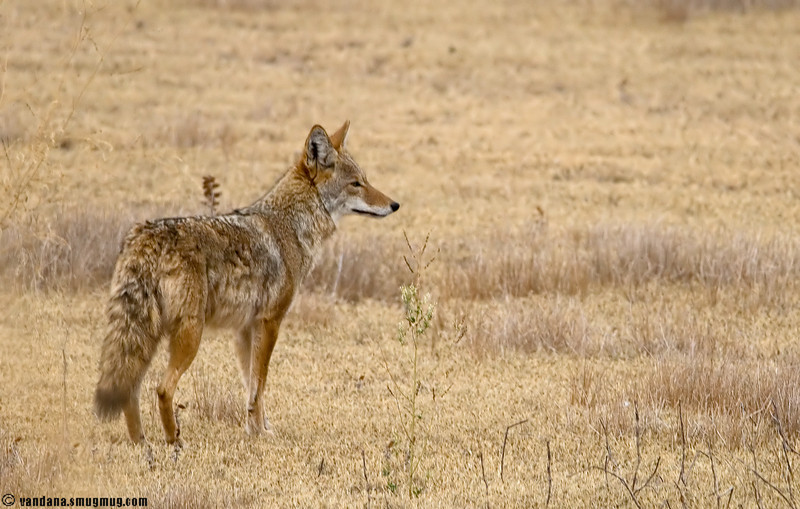 "November 25, 2007 - Coyote in Bosque  More Bosque pics are <a href=""http://vandana.smugmug.com/gallery/3812748"">here</a>"